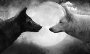 two wolves staring at each other