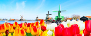Holland with tulips and windmills in traditional village